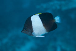 BD-150422-Maldives-7752-Hemitaurichthys-zoster-(Bennett.-1831)-[Brown-and-white-butterflyfish].jpg